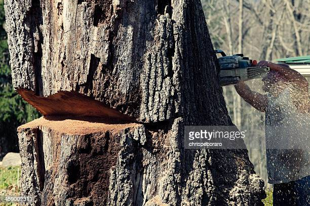 Cutting Down A Large Oak Tree