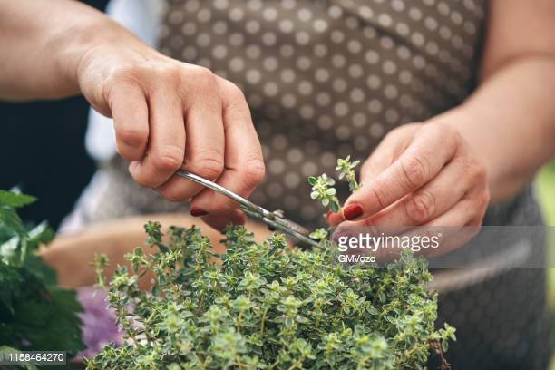 cutting fresh organic thyme from garden - thyme stock pictures, royalty-free photos & images