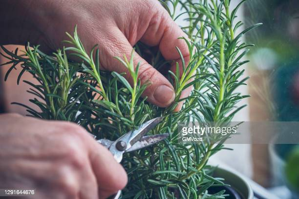 cutting fresh rosemary - cutting stock pictures, royalty-free photos & images