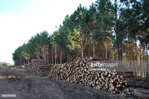 Cutting of reforestation wood.