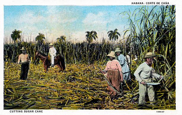 Cutting Sugar Cane Havana Cuba