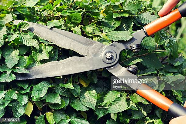 Cutting  the hornbeam with hedge clippers in summer