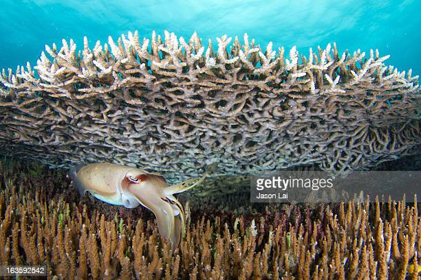 Cuttlefish hunting among corals