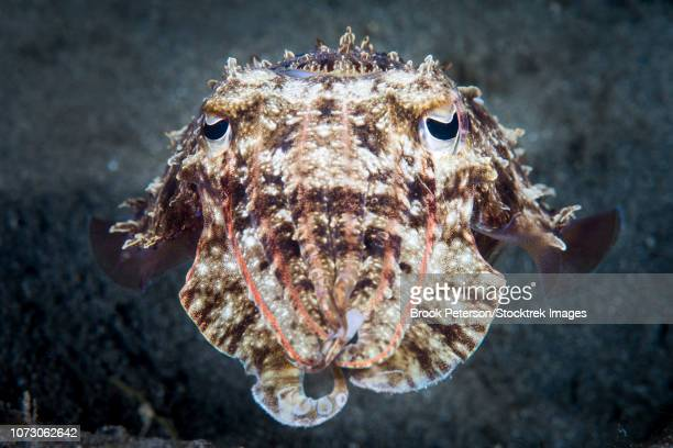 A cuttlefish hunts at night, Anilao, Philippines.