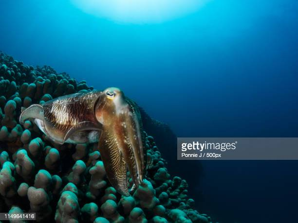 cuttlefish on hard coral - ponnie stock pictures, royalty-free photos & images