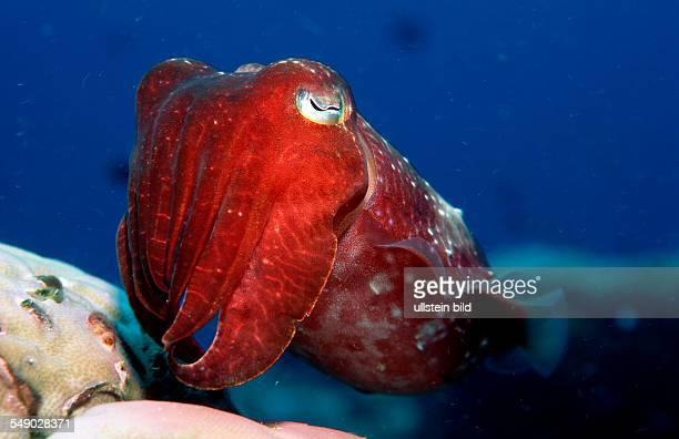 Cuttlefish Sepia kobiensis Australia Pacific Ocean Great Barrier Reef