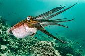 Cuttlefish (Sepia pharaonis) showing defensive bahvior underwater