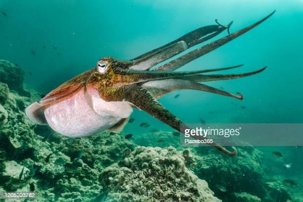 cuttlefish (sépia fararaonis) mostrando bahvior defensivo debaixo d'água - lula - fotografias e filmes do acervo
