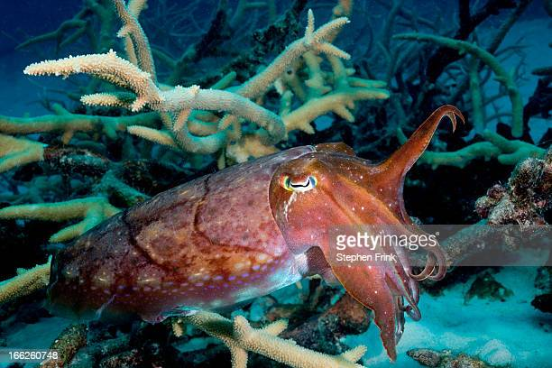 Cuttlefish waves tentacles