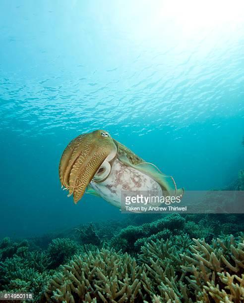 Cuttlefish with sunburst