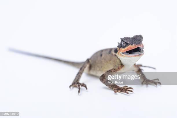 Cuvier's Spiny Lizard - Acanthosaura lepidogaster