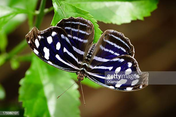 cyaniris bluewing butterfly  (myscelia cyaniris) - ogphoto stock photos and pictures