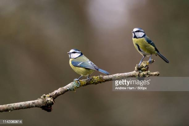 cyanistes caeruleus - bluetit stock photos and pictures