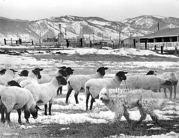 DEC 5 1979 DEC 31 1979 JAN 2 1980 Cyborg A 'Komondor' Or Giant Sheepdog Is Being Trained To Protect Flocks Of Sheep Cut Down On Coyote Kills...
