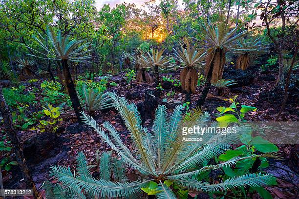 Cycad Cycas calcicola typically grows in soil derived from schist sandstone and limestone from which its specific name derives Litchfield National...