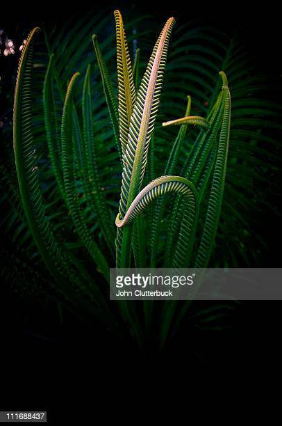 Cycad in bloom