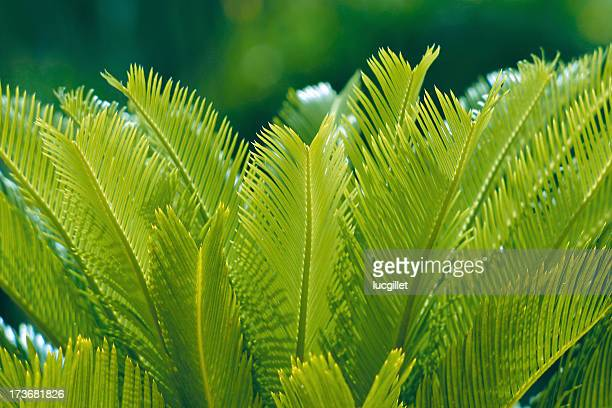cycas in springtime - tropical bush stock photos and pictures
