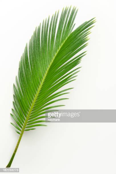 Cycas palmier