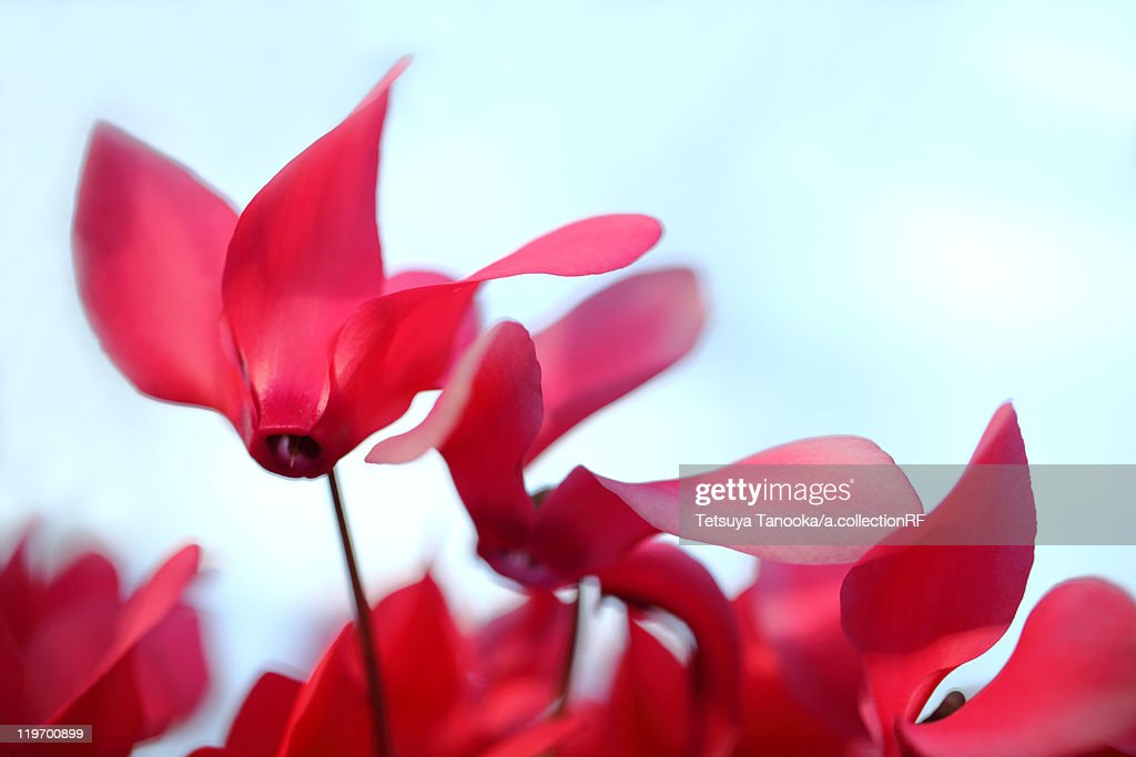 Cyclamen Flowers : Stock Photo