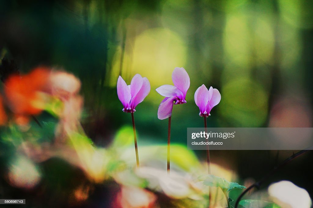 Cyclamens in the forest : Stock Photo