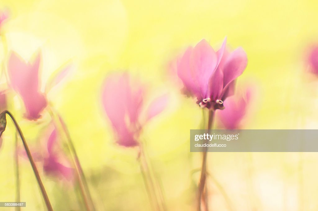 Cyclamens on the forest's ground : Stock Photo