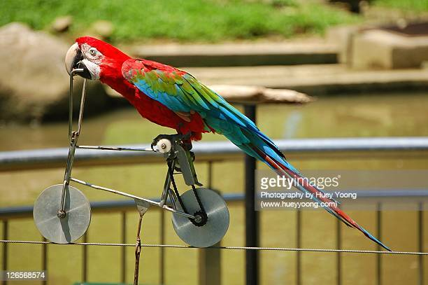 cycler with wings - jurong bird park stock pictures, royalty-free photos & images