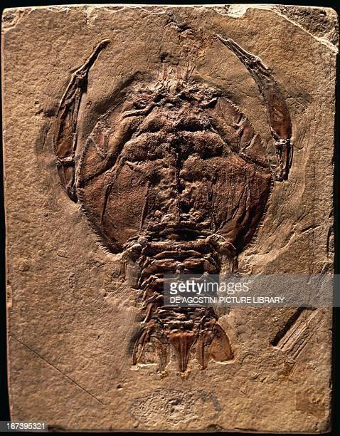 Cycleryon propinquus fossils Crustacea Late Jurassic