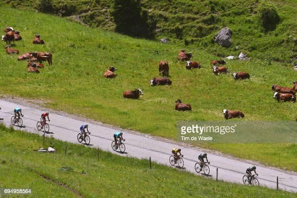 69th Criterium du Dauphine 2017 / Stage 8 Peloton / Landscape / Richie PORTE Yellow Leader Jersey / Cow/ Albertville Plateau de Solaison 1508m /