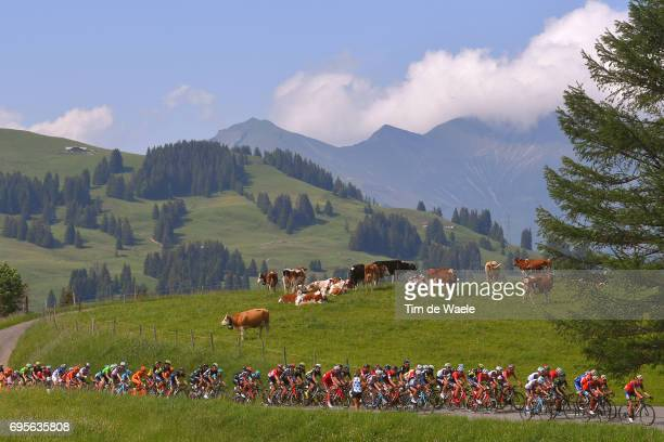 81st Tour of Switzerland 2017 / Stage 4 Peloton / Cows / Landscape / Bern VillarssurOllon 1327m / TDS/