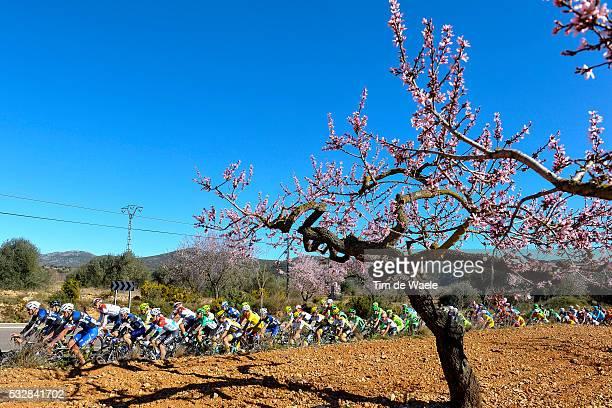 Vuelta Comunidad Valenciana 2016 / Stage 2 Illustration Illustratie/ Peloton Peleton/ Landscape Paysage/ Almond tree/ BOONEN Tom / VANDENBERGH Stijn...