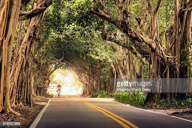 cyclist in the banyans - stuart florida stock pictures, royalty-free photos & images