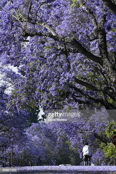 A cyclist passes under a canopy of purple blossoms as southern California's Jacaranda trees go into full bloom May 19 2004 in South Pasadena...