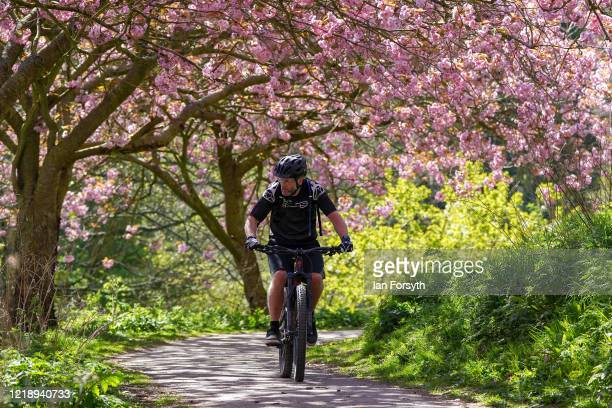 A cyclist taking his daily exercise rides underneath cherry trees in full blossom on April 15 2020 in Saltburn By The Sea United Kingdom The...