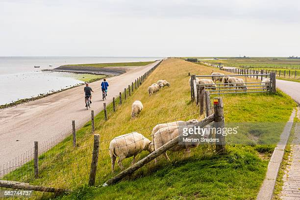 Cyclists along dyke with sheep