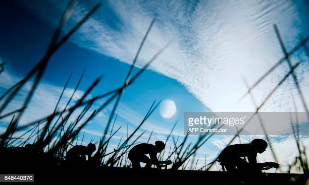 TOPSHOT Cyclists of Movistar team compete during the men's team time trial at the UCI Cycling Road World Championships on September 17 2017 in Bergen...