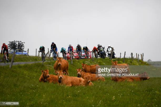 Cyclists ride past cows on a meadow during the second stage of the 71st edition of the Criterium du Dauphine cycling race 180 km between Mauriac and...