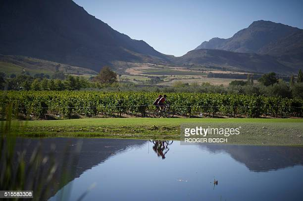 Cyclists ride through the vineyards past a lake during the first full stage of the 2016 Cape Epic mountain bike stage race in the mountains above the...