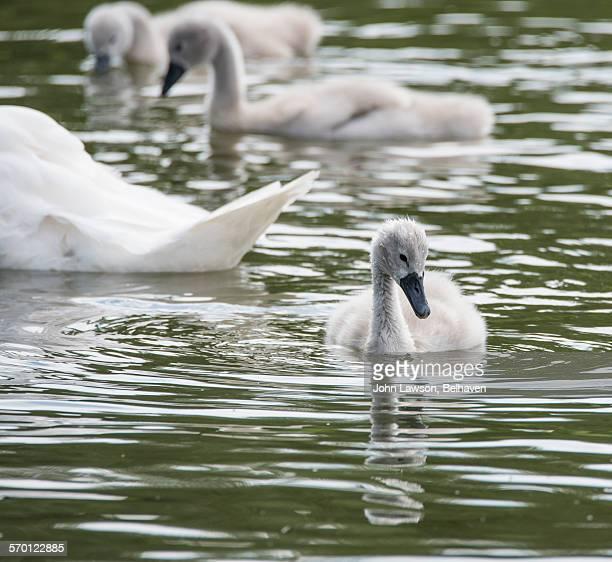 Cygnet (Mute Swan)