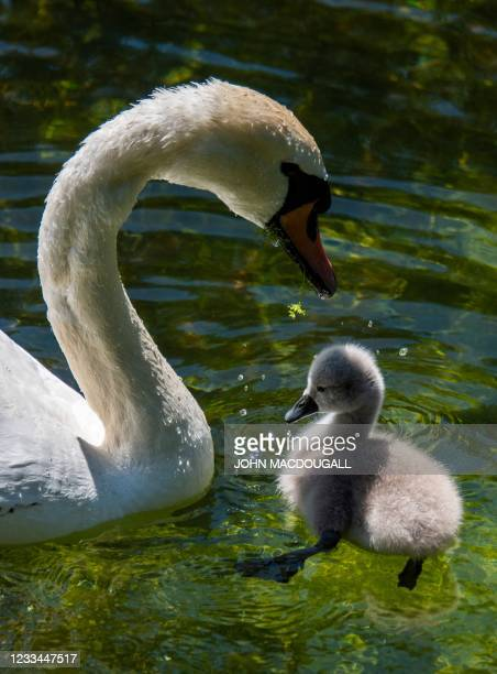 Cygnet tries to retrieve pondweed foraged by one of its parents in a pond in Berlin on June 14, 2021. - Cygnets typically stay with their parents for...