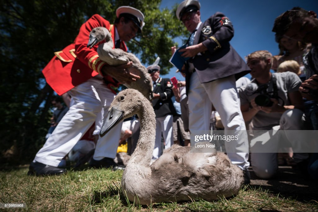 A cygnet waits to be weighed and measured before being released back onto the river during the annual Swan Upping census on July 17, 2017 on the River Thames, South West London. The historic Swan Upping ceremony dates back to the 12th century, to when the Crown claimed ownership of all Mute Swans and they were eaten at banquets and feasts. The Sovereign's Swan Marker, David Barber, counts the number of young cygnets on the river each year and ensures that the swan population is maintained. The swans and young cygnets are also assessed for any signs of injury or disease.