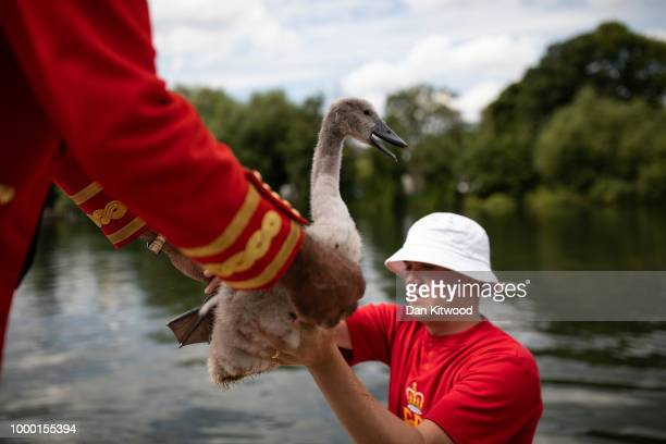 Swans and cygnets make their way after being tagged during the annual Swan Upping census on July 16 2018 on the River Thames South West London The...
