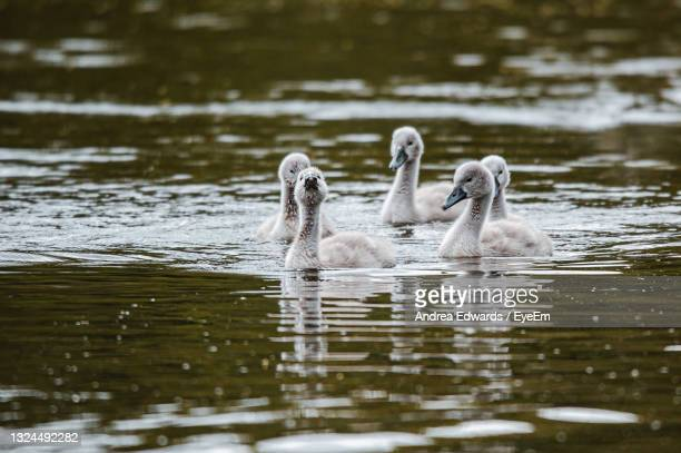 cygnets of mute swans, cygnus olor - bird's nest stock pictures, royalty-free photos & images