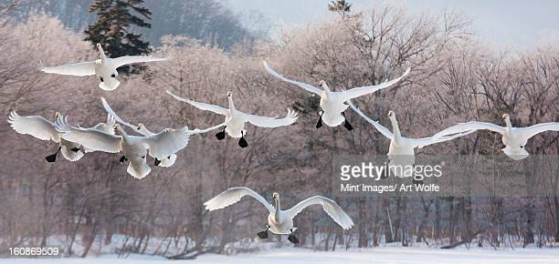 Cygnus cygnus, Whooper swans, on a frozen lake in Hokaido.