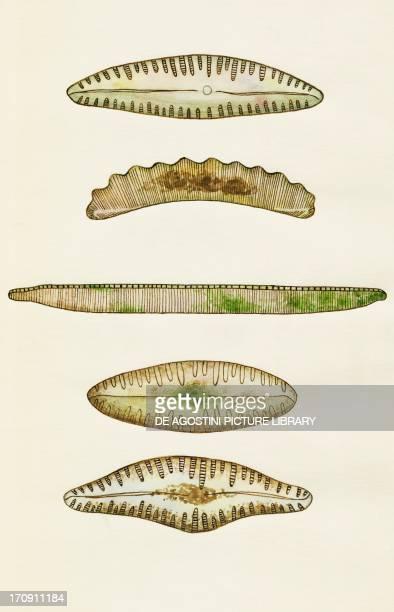 Cymbella subzewarensis Eunotia robust Nitzschia intermedia Pinnularia borealis Cymbella farakulumensis Diatom algae Bacillariophyceae Drawing
