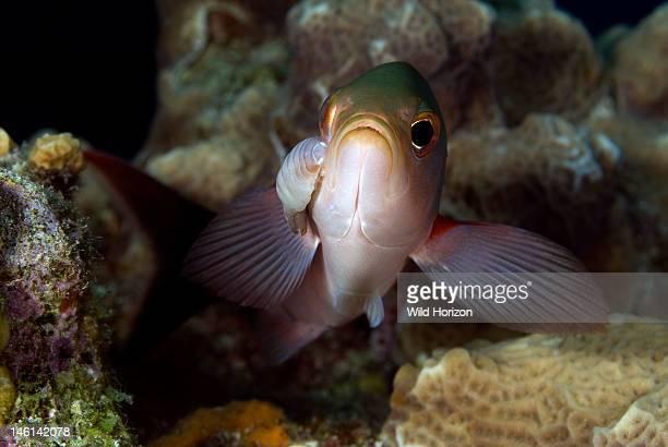 Cymothoid isopod on a creole fish Cymothoidae Paranthias furcifer Something Special Bonaire Netherlands Antilles