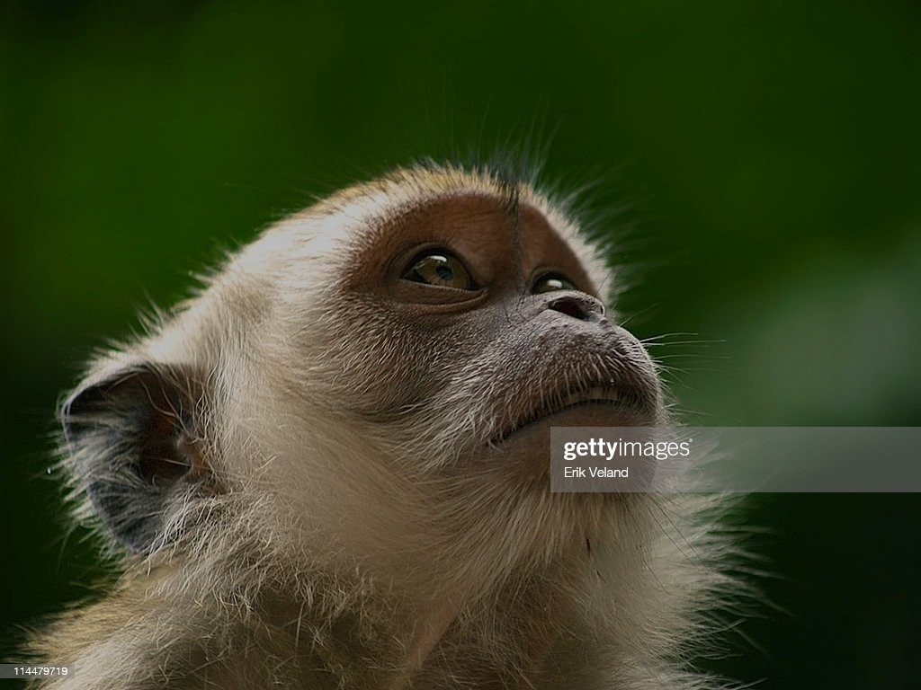 Cynomolgus Monkey : Stock Photo