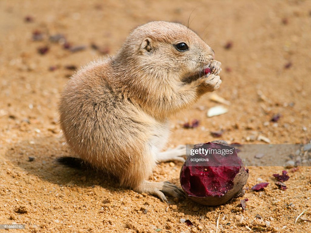 Cynomys ludovicianus - baby of black tailed prairie dog : Stock Photo