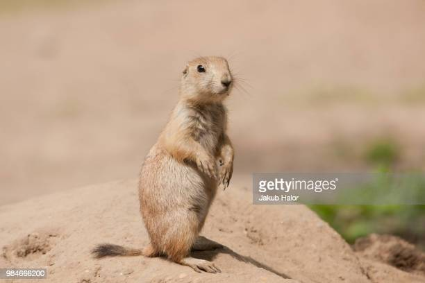 cynomys ludovicianus - prairie dog stock pictures, royalty-free photos & images