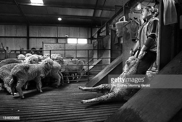 Cynthia Southwell shearing at the Balgalal property Boorowa