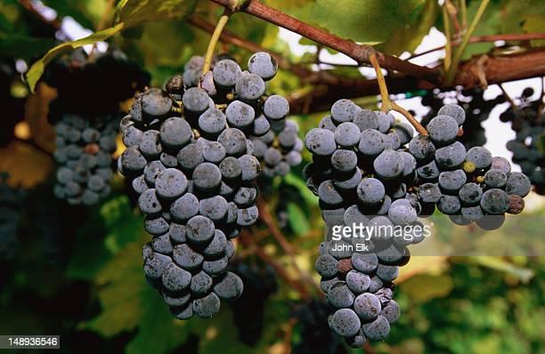 cynthiana grapes, stone bluff cellars vineyard. - bottes noires photos et images de collection
